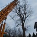 Poplar Removal 2012